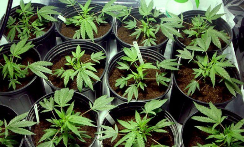 Photo of La coltivazione domestica di cannabis in minime quantità non è un reato