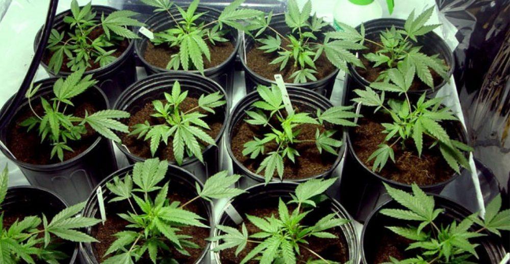 La coltivazione domestica di cannabis in minime quantità non è un reato
