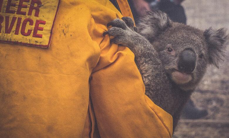 Photo of Incendi in Australia, l'allarme del Wwf: «I koala sono a rischio estinzione»