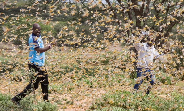 Photo of L'invasione delle locuste che sta devastando l'Africa