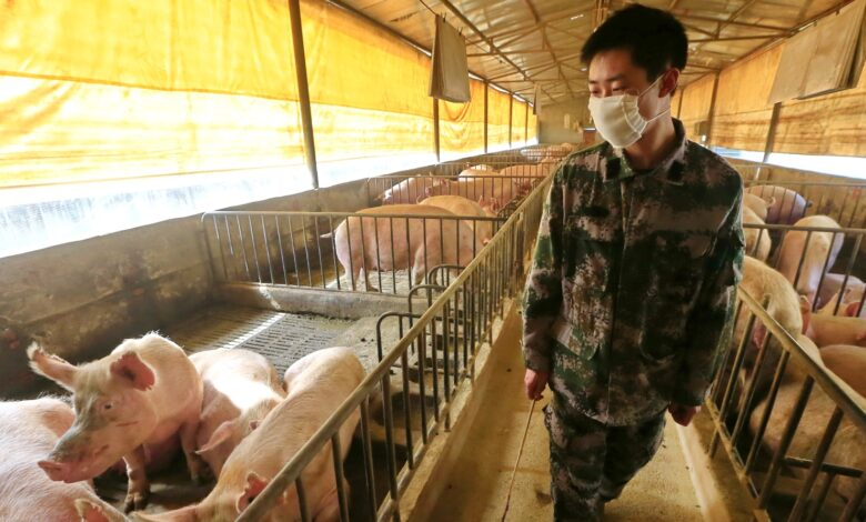 Photo of Cina, virus «potenzialmente pandemico» scoperto nei maiali